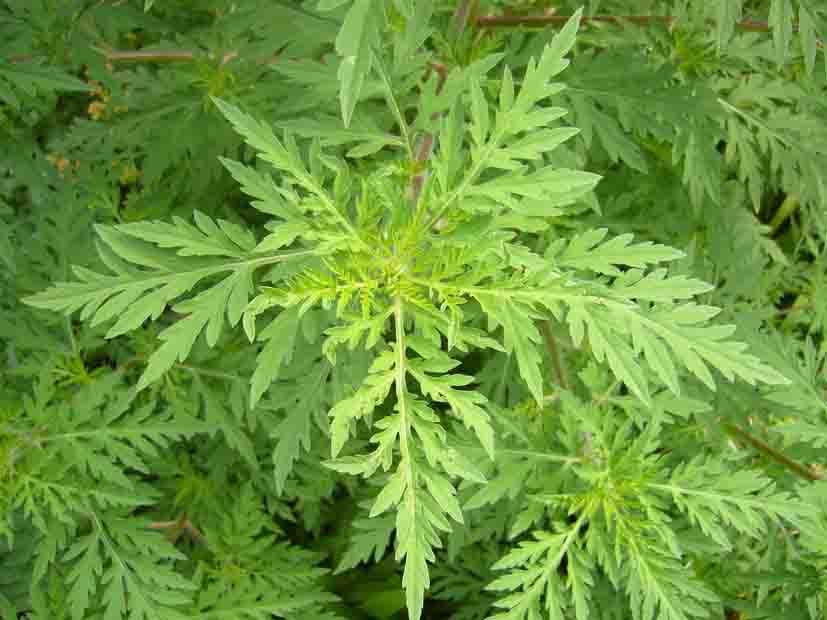 [Bild: ambrosiaartemisiifolia.jpg]
