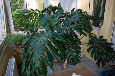 [Bild: monstera.jpg]